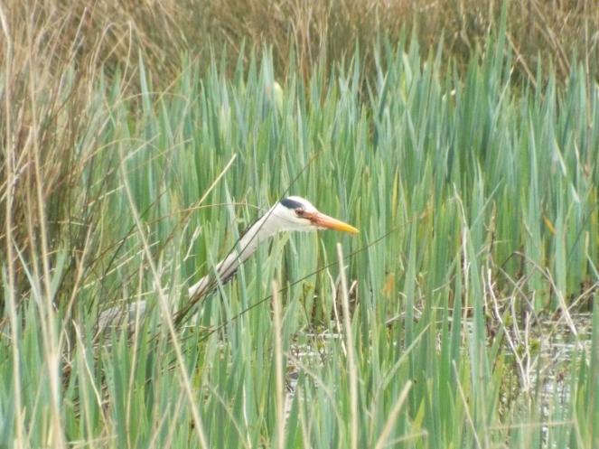 Heron hunting at Amble Marshes, 20-4-13, D Julian